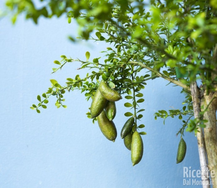 Finger lime: le origini